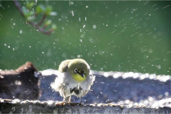 small songbird taking a bath in a birdbath splashing water everywhere